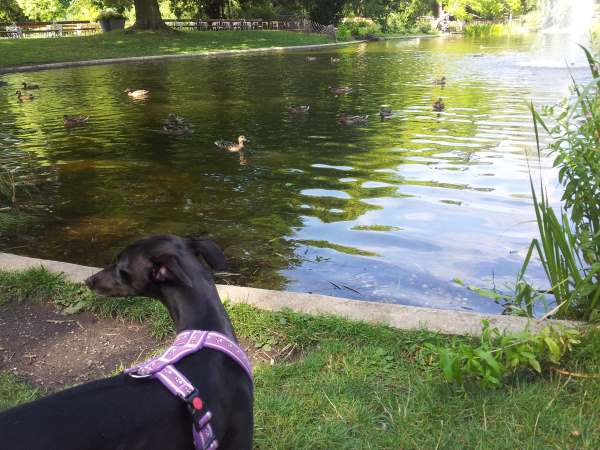 Java calmly watching ducks at the park! Success :)