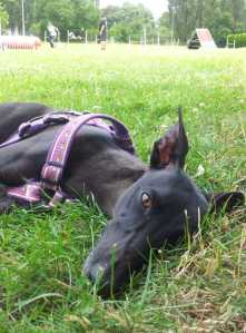 Java relaxing while other dogs run agility